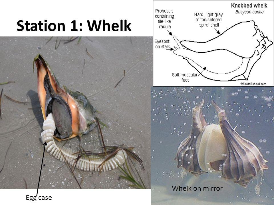 Station 1: Whelk Egg case Whelk on mirror