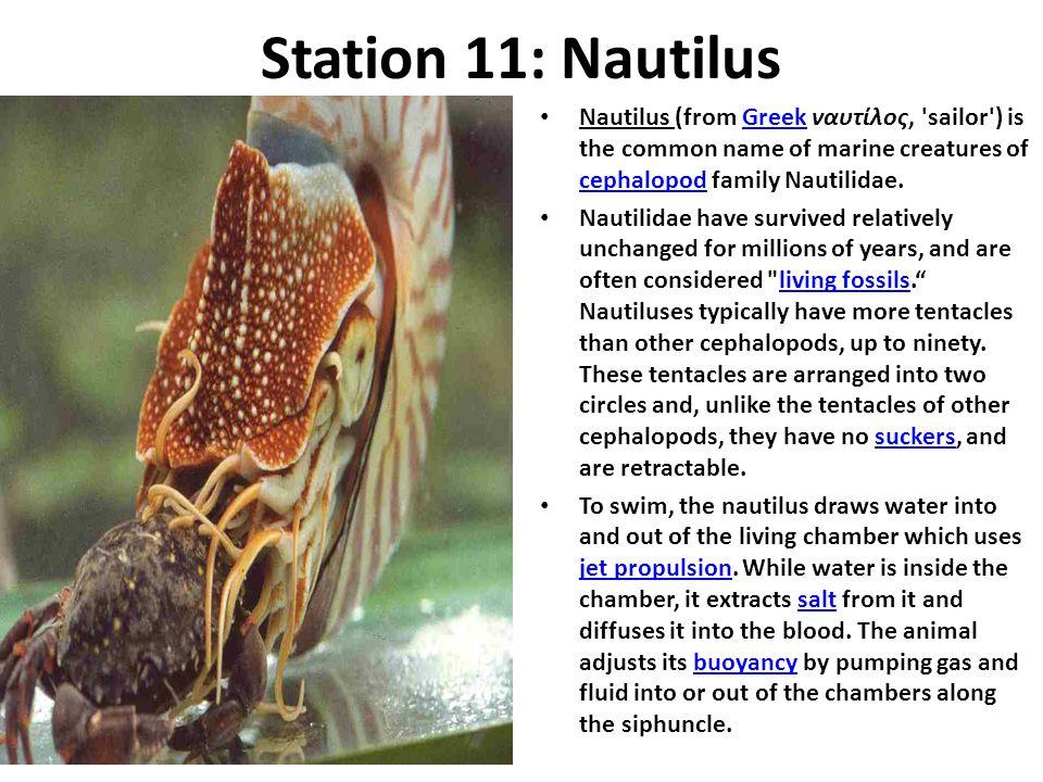Station 11: Nautilus Nautilus (from Greek ναυτίλος, 'sailor') is the common name of marine creatures of cephalopod family Nautilidae.Greek cephalopod