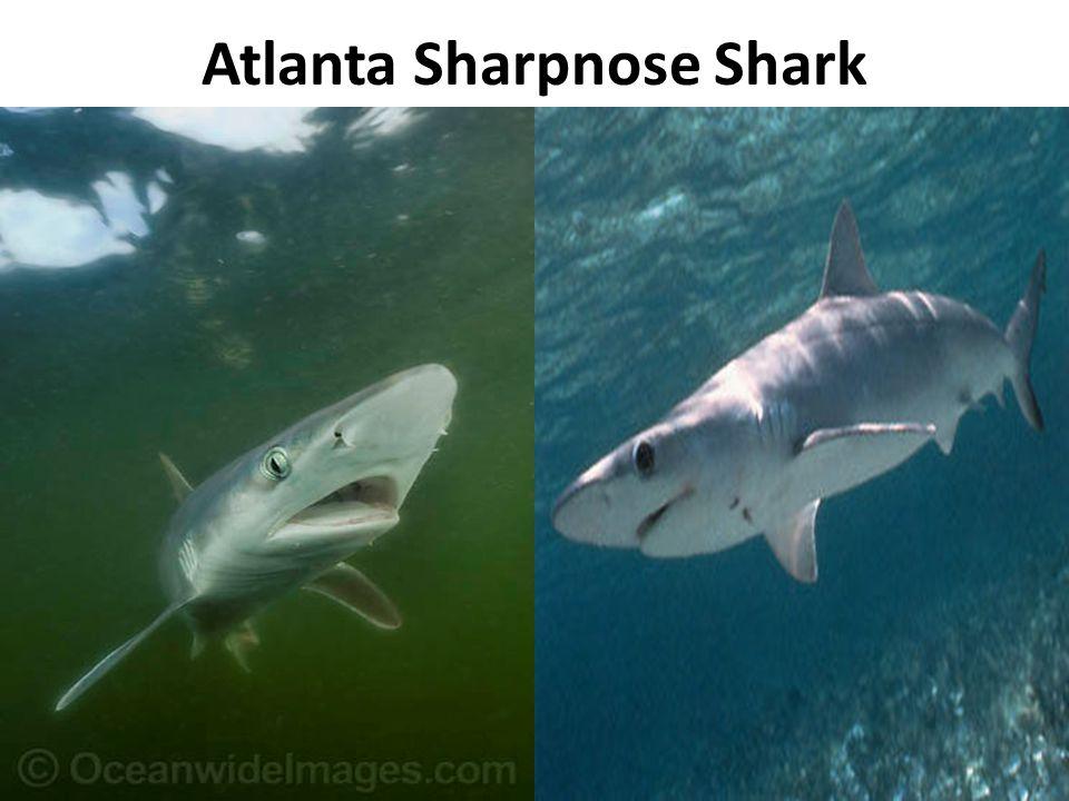 Atlanta Sharpnose Shark