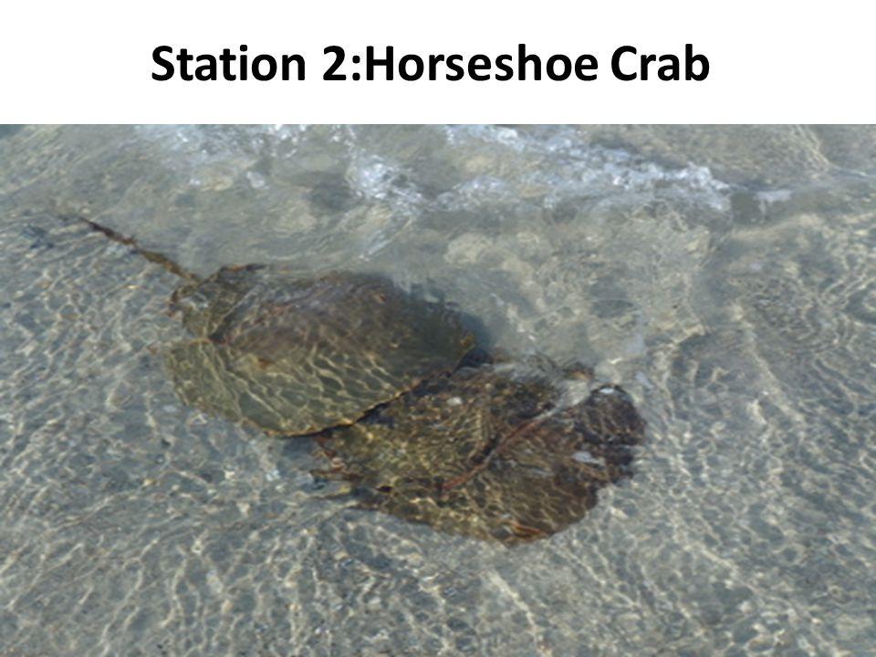 Station 2:Horseshoe Crab
