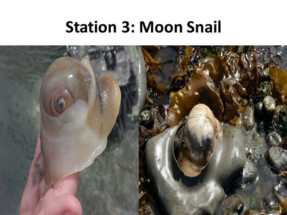 Station 3: Moon Snail
