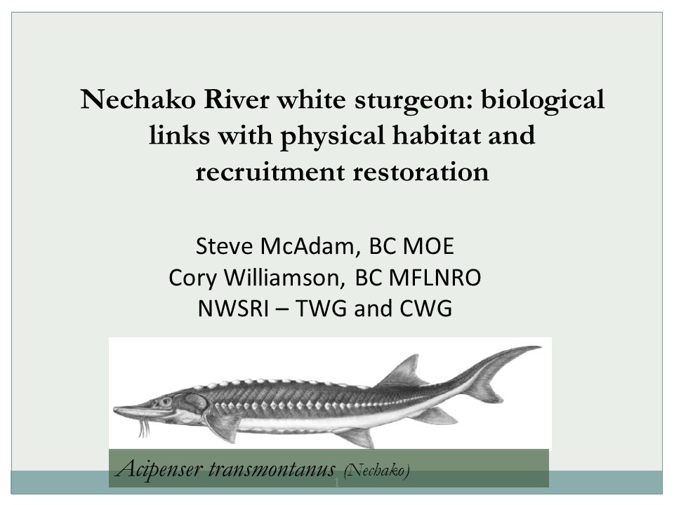 1 Nechako River white sturgeon: biological links with physical habitat and recruitment restoration Steve McAdam, BC MOE Cory Williamson, BC MFLNRO NWSRI – TWG and CWG Acipenser transmontanus (Nechako)