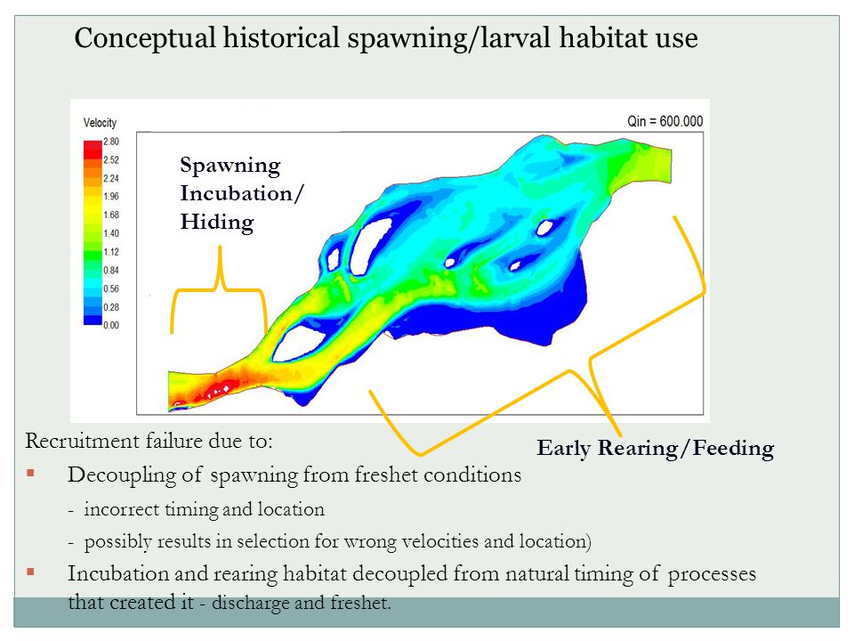Conceptual historical spawning/larval habitat use Spawning Incubation/ Hiding Early Rearing/Feeding Recruitment failure due to:  Decoupling of spawning from freshet conditions - incorrect timing and location - possibly results in selection for wrong velocities and location)  Incubation and rearing habitat decoupled from natural timing of processes that created it - discharge and freshet.