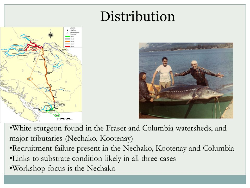 Distribution White sturgeon found in the Fraser and Columbia watersheds, and major tributaries (Nechako, Kootenay) Recruitment failure present in the Nechako, Kootenay and Columbia Links to substrate condition likely in all three cases Workshop focus is the Nechako