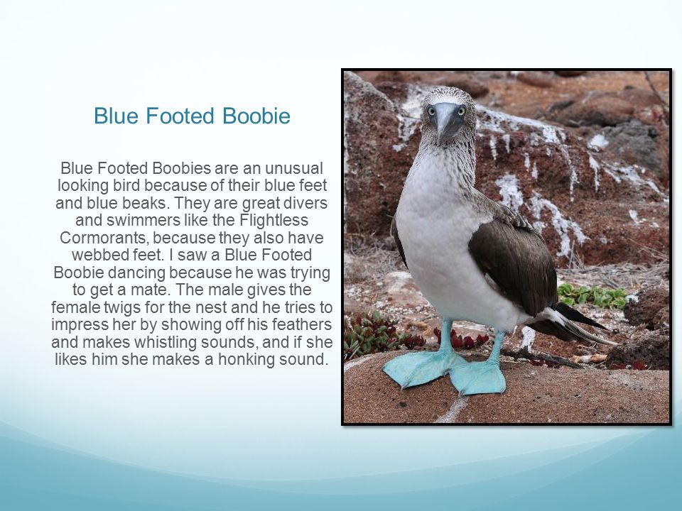 Blue Footed Boobie Blue Footed Boobies are an unusual looking bird because of their blue feet and blue beaks. They are great divers and swimmers like