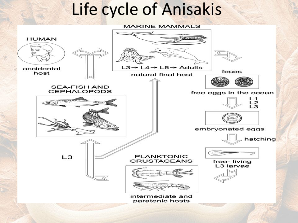 Life cycle of Anisakis