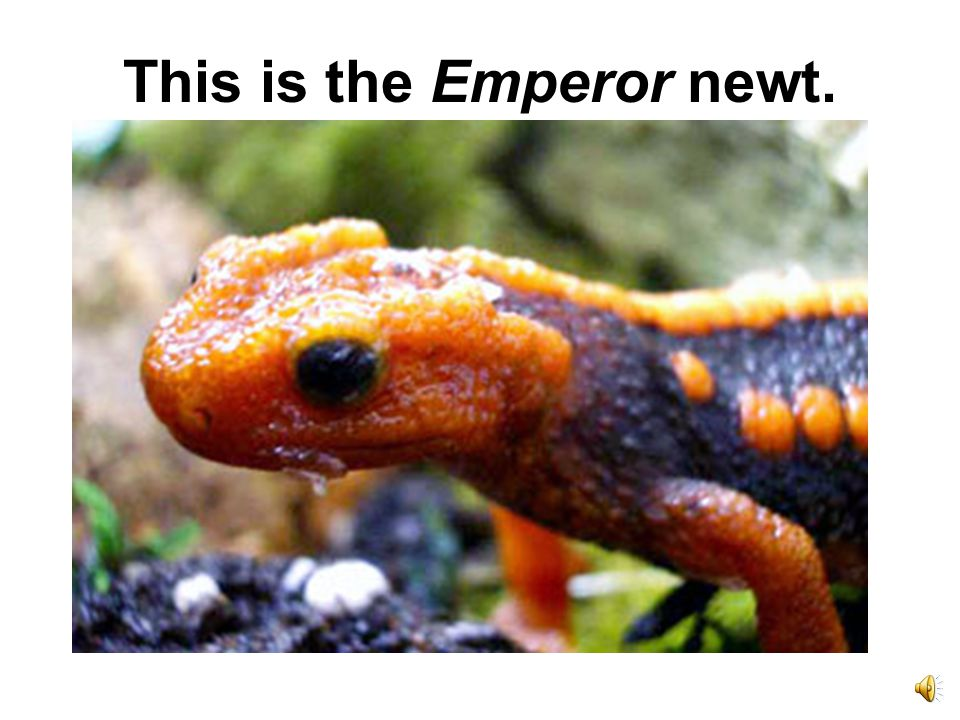 Newts are amphibians, too.
