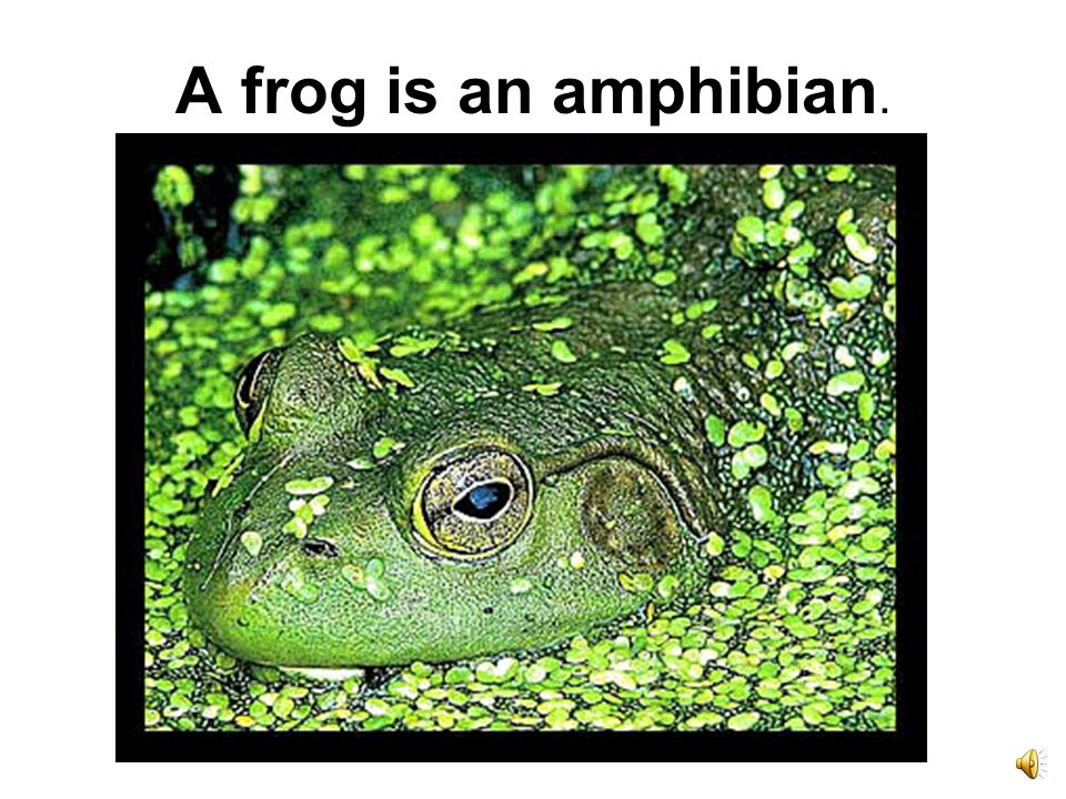 Baby frogs are tadpoles.