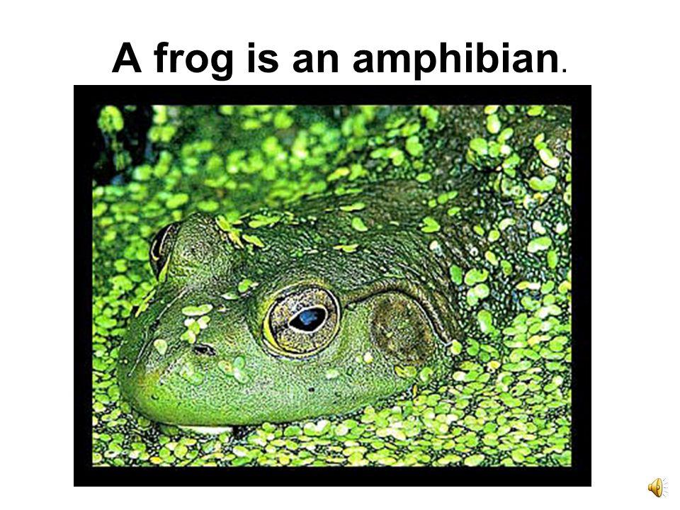 A frog is an amphibian.