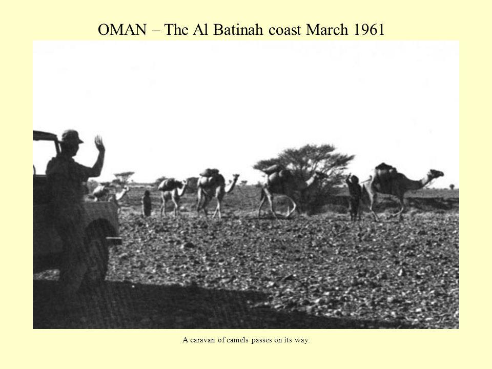 OMAN – The Al Batinah coast March 1961 A caravan of camels passes on its way.