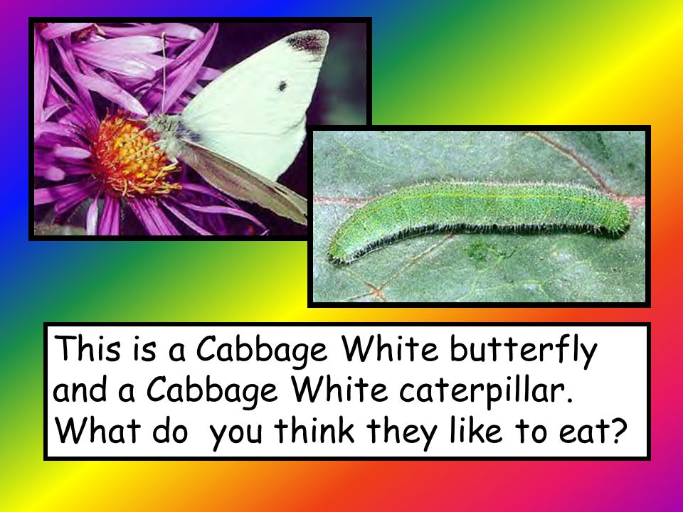 This is a Cabbage White butterfly and a Cabbage White caterpillar.