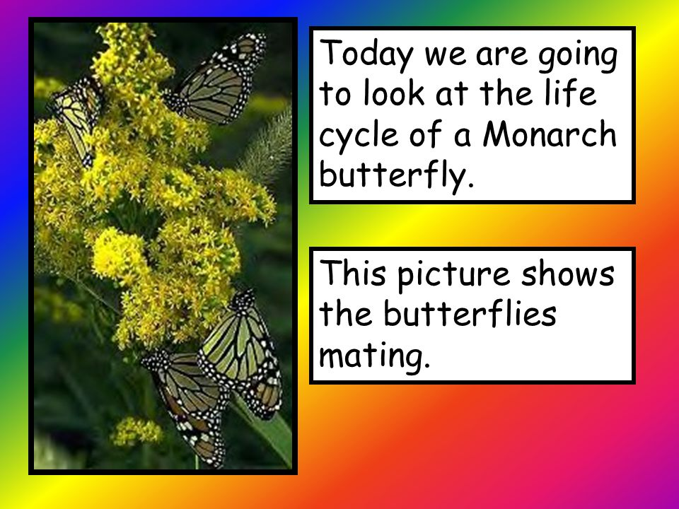 Today we are going to look at the life cycle of a Monarch butterfly. This picture shows the butterflies mating.