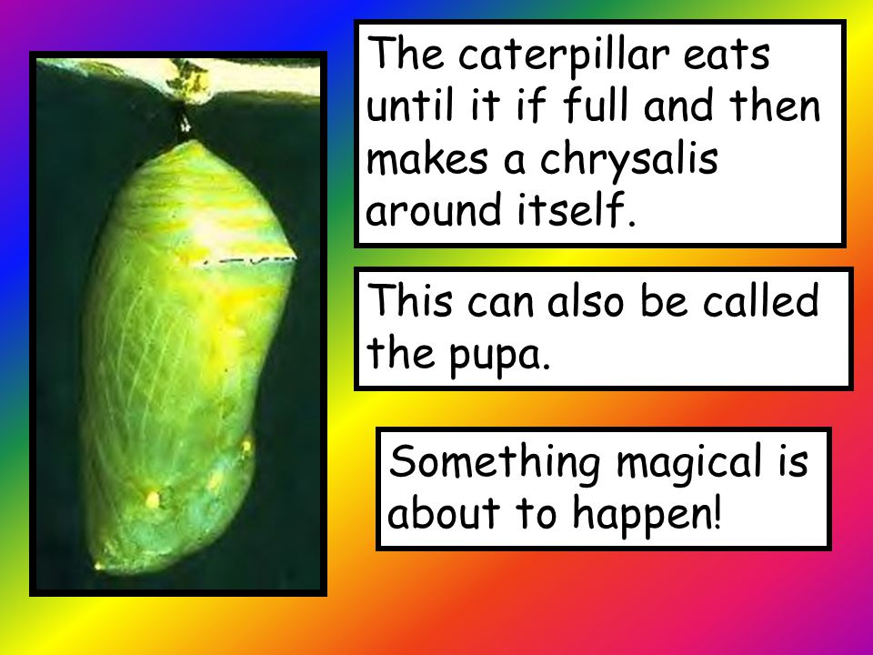 The caterpillar eats until it if full and then makes a chrysalis around itself. This can also be called the pupa. Something magical is about to happen