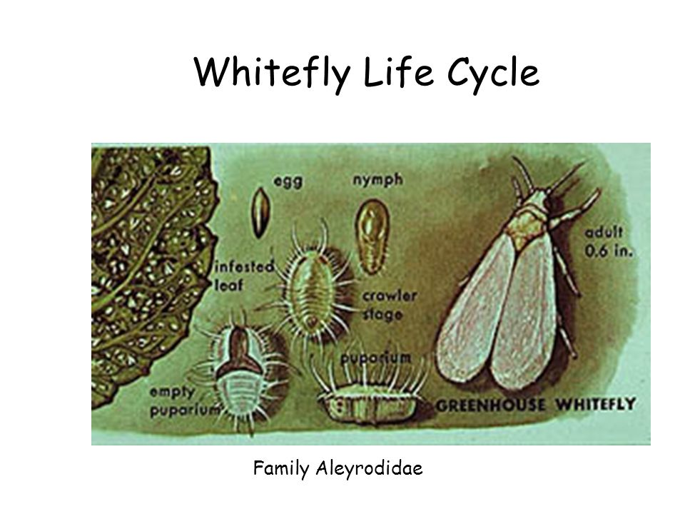 Whitefly Life Cycle Family Aleyrodidae