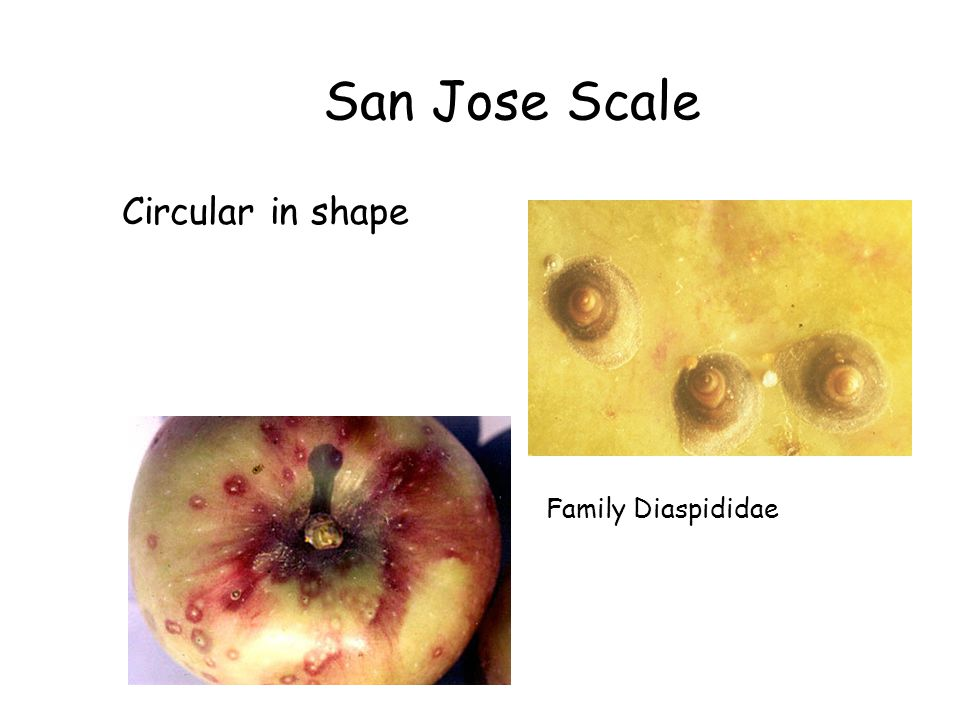 San Jose Scale Circular in shape Family Diaspididae