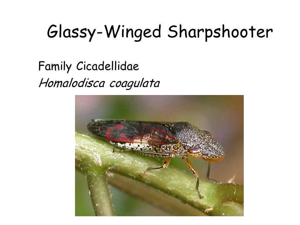 Glassy-Winged Sharpshooter Family Cicadellidae Homalodisca coagulata