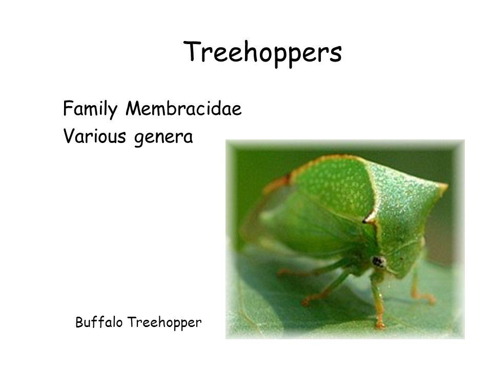 Treehoppers Family Membracidae Various genera Buffalo Treehopper