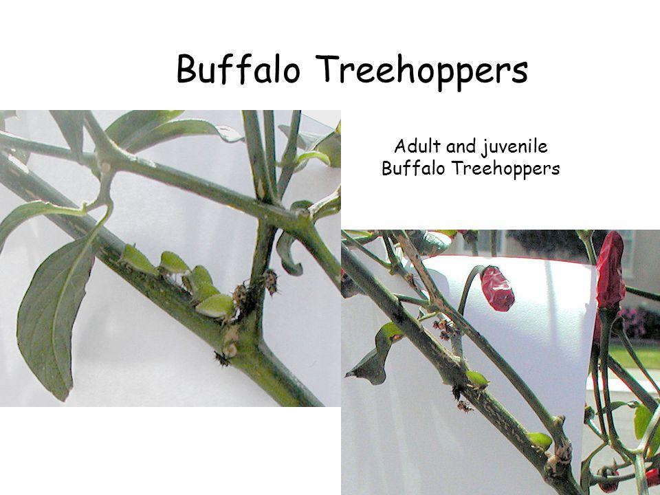 Buffalo Treehoppers Adult and juvenile Buffalo Treehoppers