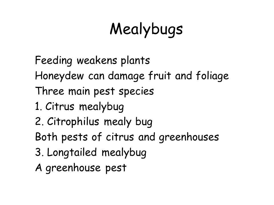 Mealybugs Feeding weakens plants Honeydew can damage fruit and foliage Three main pest species 1. Citrus mealybug 2. Citrophilus mealy bug Both pests