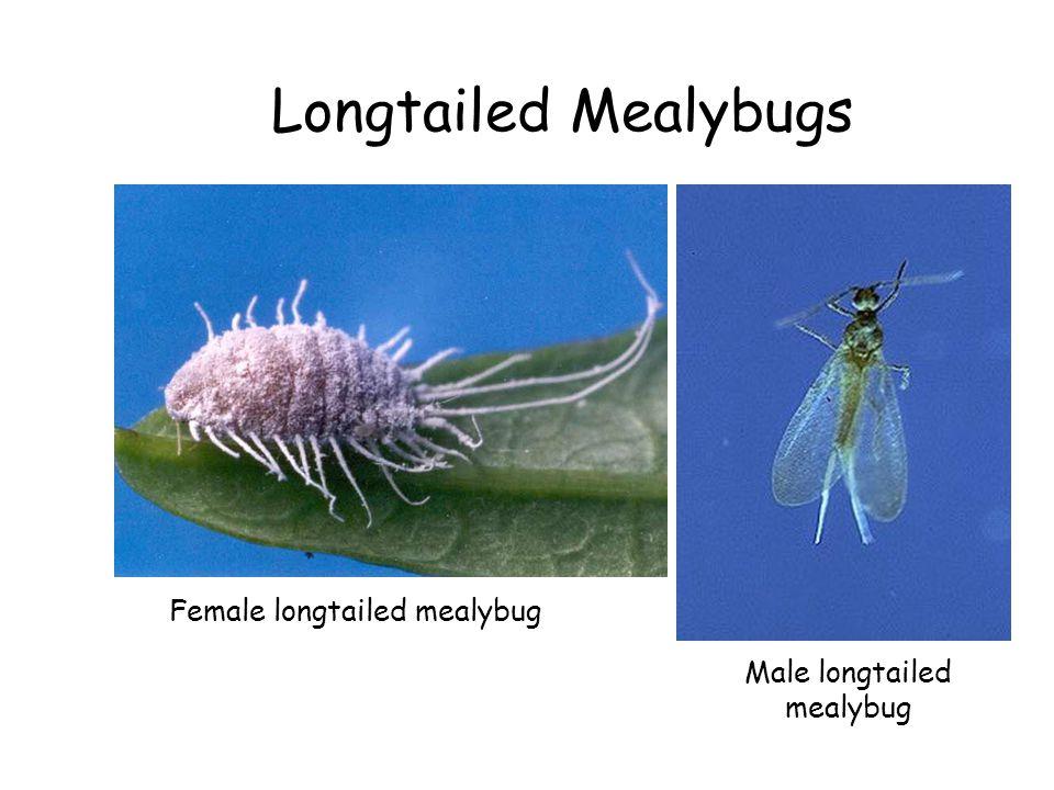 Longtailed Mealybugs Female longtailed mealybug Male longtailed mealybug
