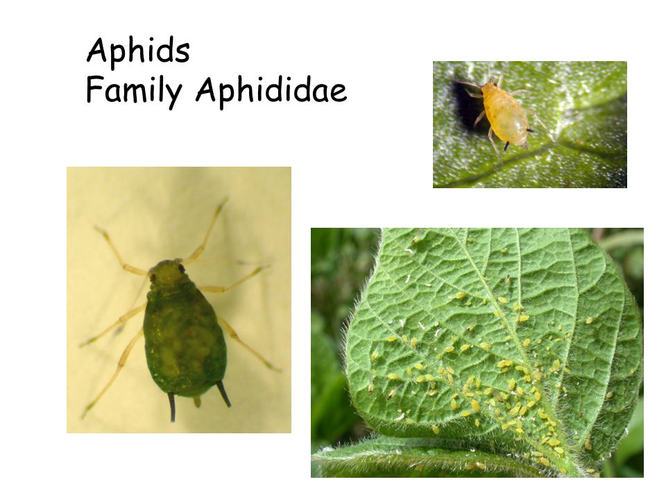 Aphids Family Aphididae