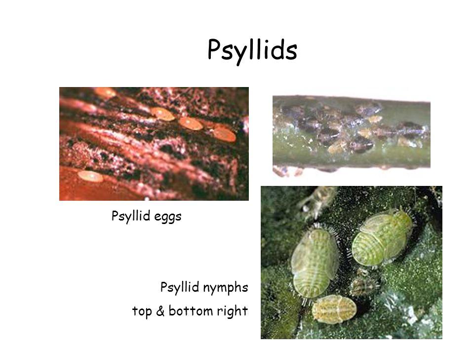 Psyllids Psyllid eggs Psyllid nymphs top & bottom right