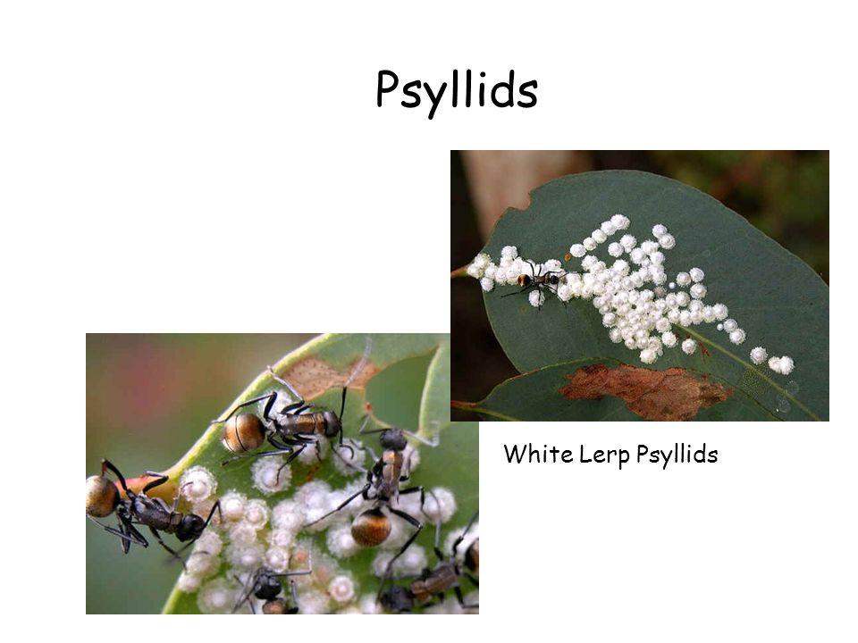Psyllids White Lerp Psyllids