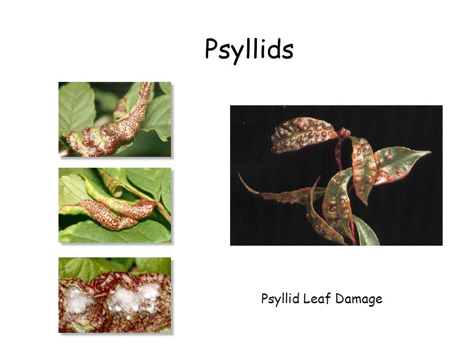 Psyllids Psyllid Leaf Damage