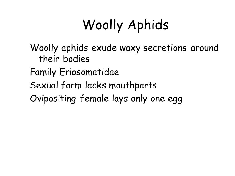 Woolly Aphids Woolly aphids exude waxy secretions around their bodies Family Eriosomatidae Sexual form lacks mouthparts Ovipositing female lays only o