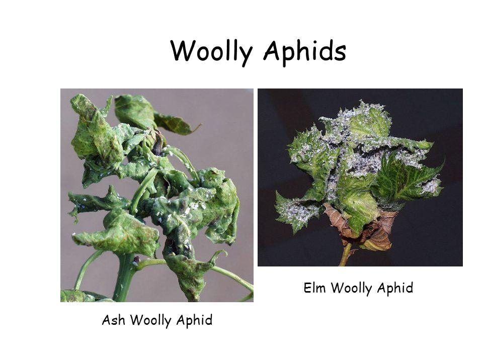 Woolly Aphids Ash Woolly Aphid Elm Woolly Aphid