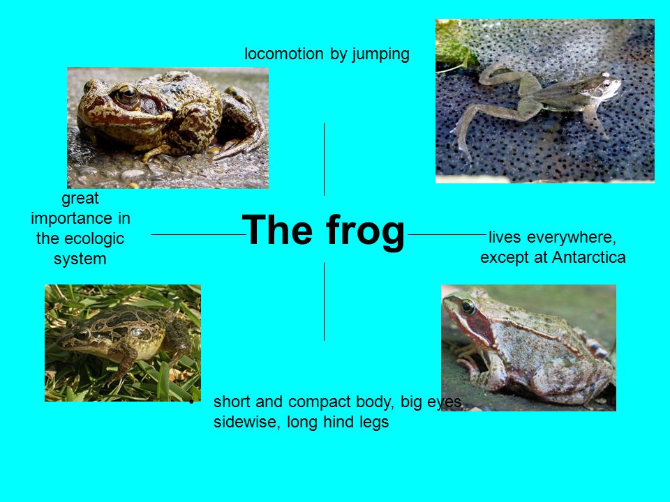 The frog great importance in the ecologic system locomotion by jumping lives everywhere, except at Antarctica short and compact body, big eyes sidewise, long hind legs