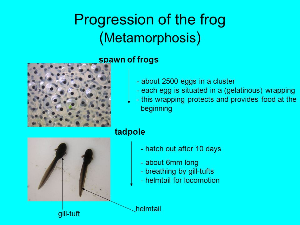 tadpoles with legs at the front and the back - about 4 weeks old - gill-tufts degenerate - inner gills appear - first hind legs grow, then forelegs - helmtail degenerates - food: algae and water plants completely developed frogs - leaves water after 12 weeks of evolution - breathing through airbags - food: insects, amphibians, small fish - length: 5-10 cm - Goliathfrogs up to 60 cm long and 4 kg