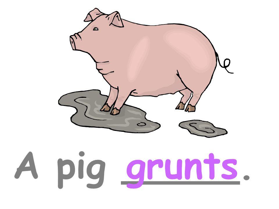 A pig _____.grunts