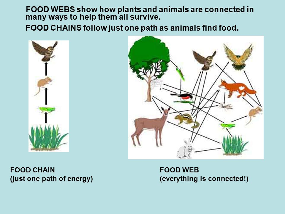 FOOD WEBS show how plants and animals are connected in many ways to help them all survive.