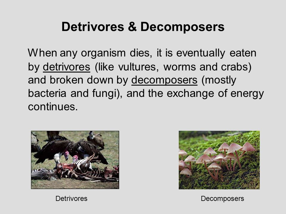 Detrivores & Decomposers When any organism dies, it is eventually eaten by detrivores (like vultures, worms and crabs) and broken down by decomposers (mostly bacteria and fungi), and the exchange of energy continues.