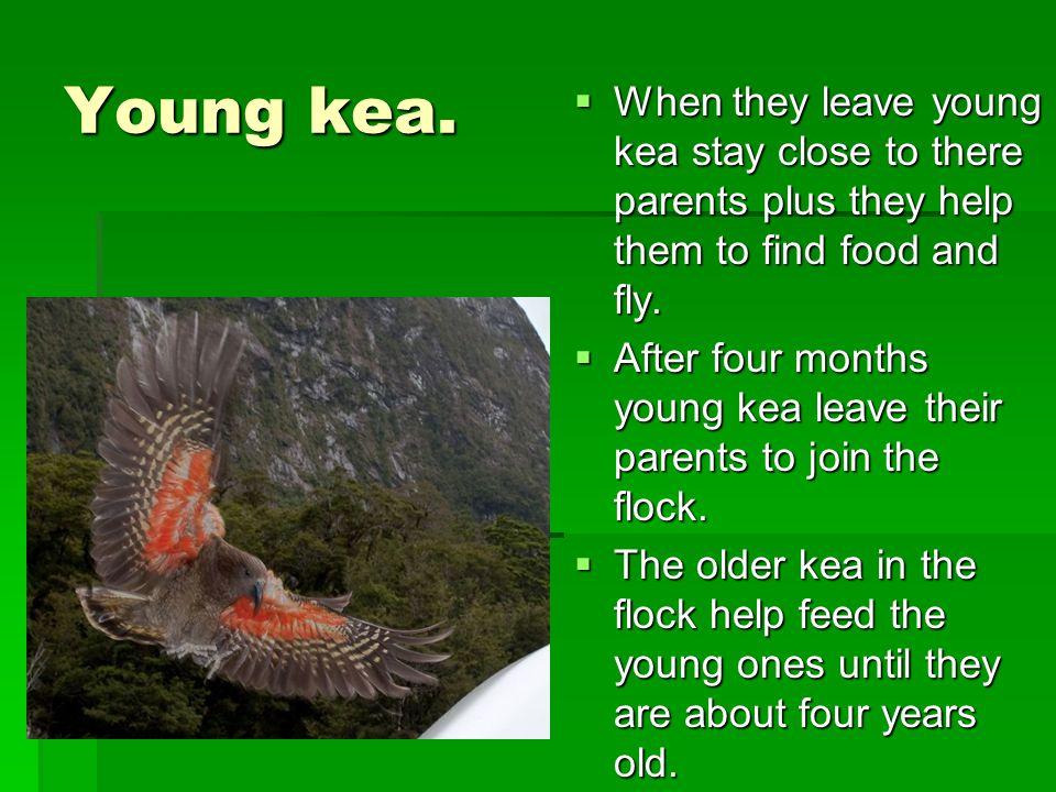 Young kea.