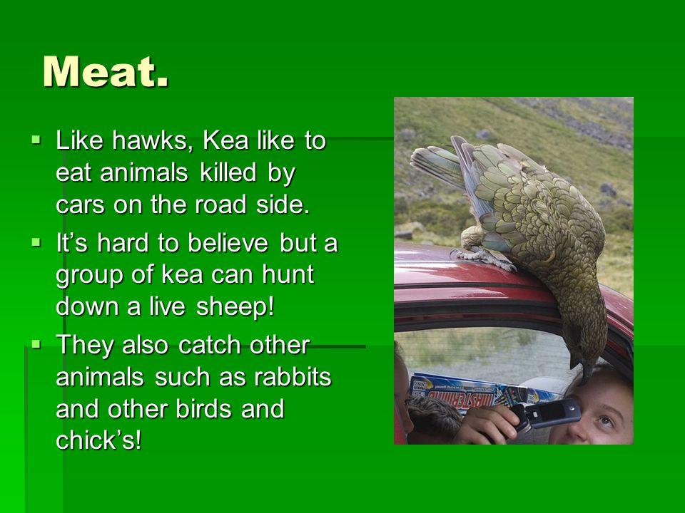 Meat.  Like hawks, Kea like to eat animals killed by cars on the road side.