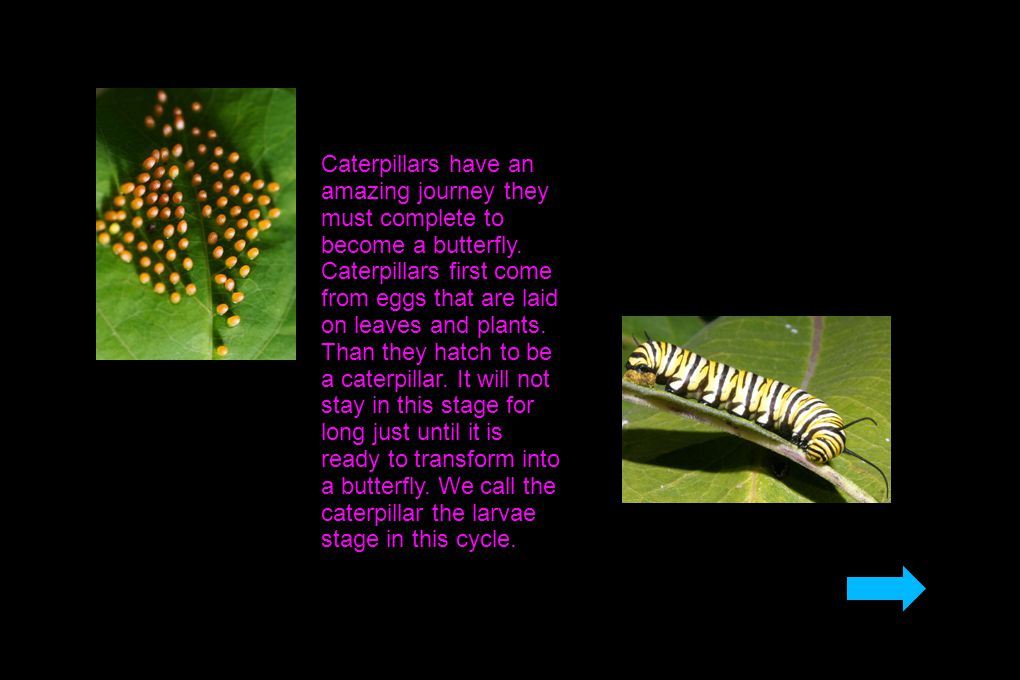 Caterpillars have an amazing journey they must complete to become a butterfly.