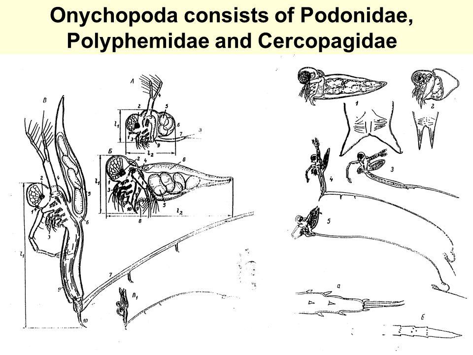 Onychopoda consists of Podonidae, Polyphemidae and Cercopagidae