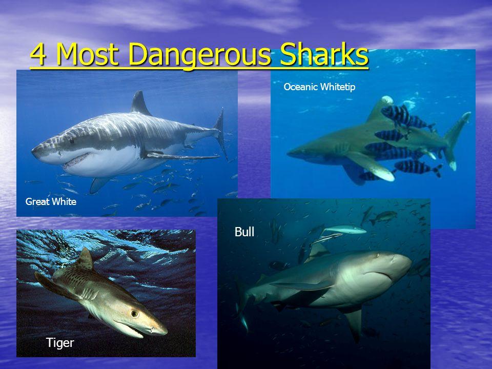 4 Most Dangerous Sharks Great White Tiger Oceanic Whitetip Bull