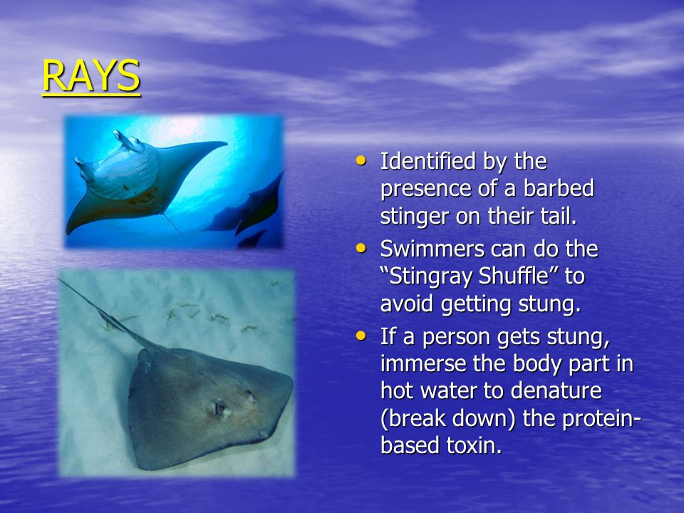 RAYS Identified by the presence of a barbed stinger on their tail.