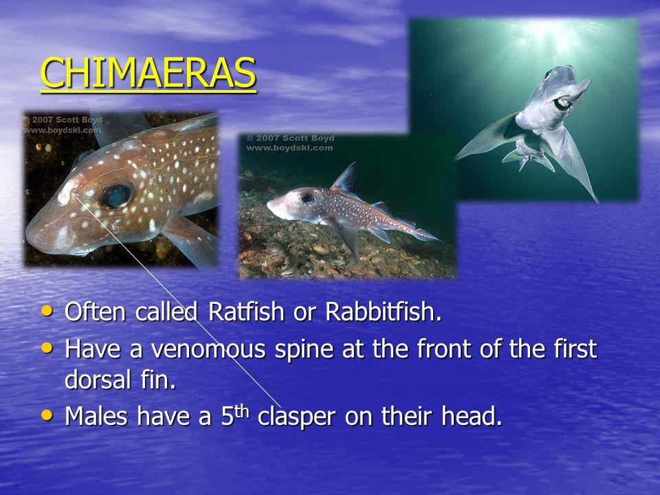 CHIMAERAS Often called Ratfish or Rabbitfish. Often called Ratfish or Rabbitfish.