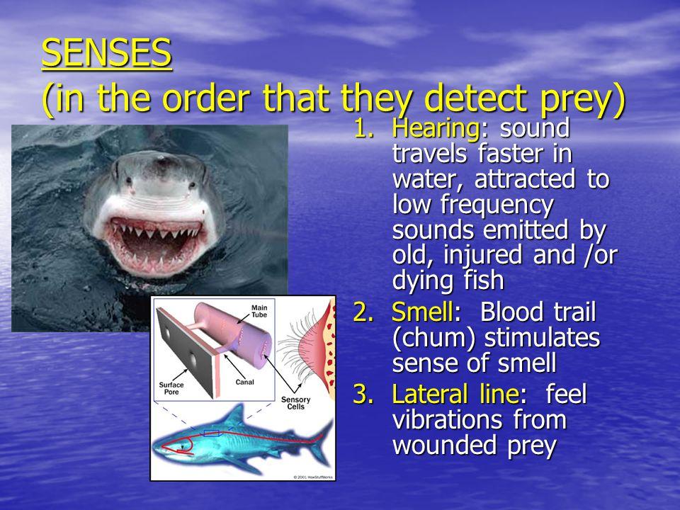 CHIMAERAS Often called Ratfish or Rabbitfish.Often called Ratfish or Rabbitfish.