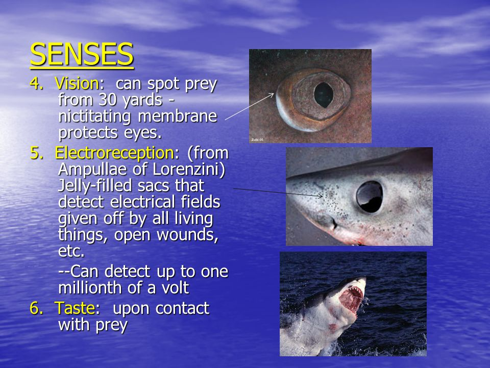 SENSES 4. Vision: can spot prey from 30 yards - nictitating membrane protects eyes.