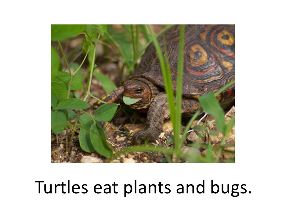 Turtles eat plants and bugs.