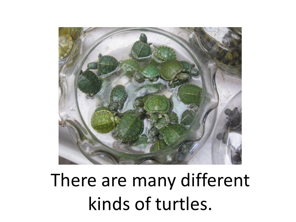 There are many different kinds of turtles.