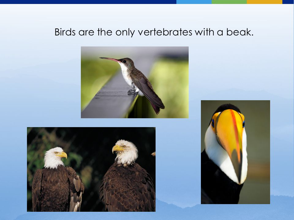 Birds are the only vertebrates with a beak.