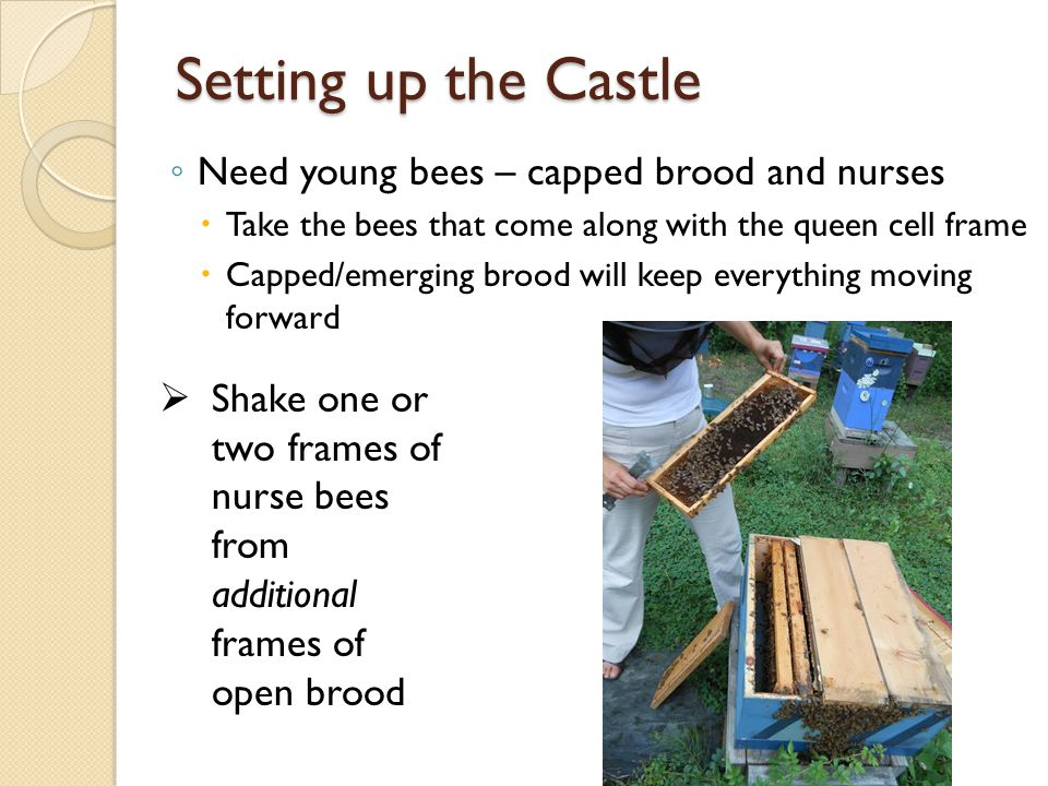 Setting up the Castle ◦ Need young bees – capped brood and nurses  Take the bees that come along with the queen cell frame  Capped/emerging brood will keep everything moving forward  Shake one or two frames of nurse bees from additional frames of open brood