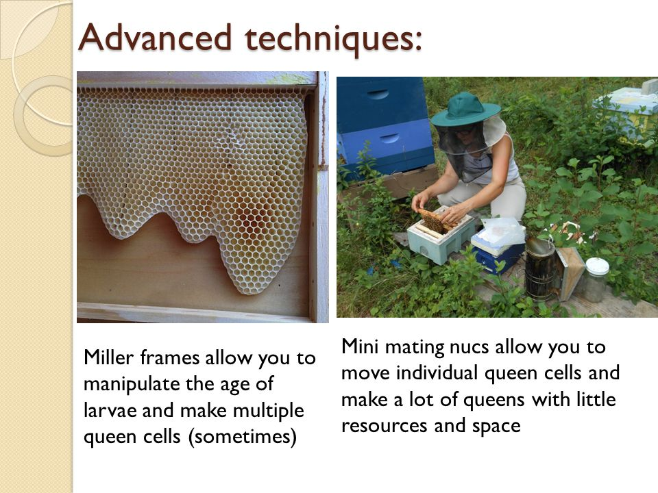 Advanced techniques: Miller frames allow you to manipulate the age of larvae and make multiple queen cells (sometimes) Mini mating nucs allow you to move individual queen cells and make a lot of queens with little resources and space