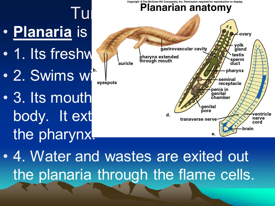 Turbellaria (class) Planaria is an organism in this class. 1. Its freshwater 2. Swims with the aid of cilia 3. Its mouth is in the middle of its body.